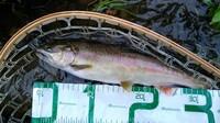 北海道道央の渓流ルアー釣りで釣れた魚です。魚種はしょうか? ニジマス?ブラウン?