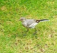 警戒心が薄いこの鳥の名前を教えて下さい。毎日同じ個体が一羽だけ家にやってきます。長時間うちの庭に滞在してます。
