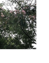 この植物の名前を教えてください。  近くの公園に咲いていました。(6月中旬)  お花はサガリバナのようにほわほわしています。  どなたか宜しくお願いします。
