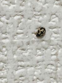 これっててんとう虫ですか?? 白いてんとう虫でこの柄の見たことなくて...