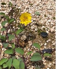 花の名前を教えてください。 たんぽぽに似た花ですが、 いくら調べてもわかりません。 8月に咲いている花です。 よろしくおねがいします。