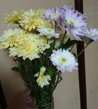 菊を育ててたいと考えています 画像の菊を育ててみたいのですが、菊の種類が多すぎて名前がわかりません(>_<) わかる人がいましたら、どうか教えて下さいっ そして、初心者でも育てら れるものなのか… よろしくお願いします(。-人-。)