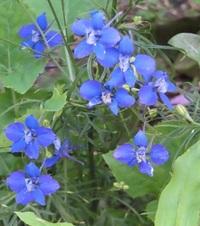 この青い花の名前はなにでしょうか 教えてください。