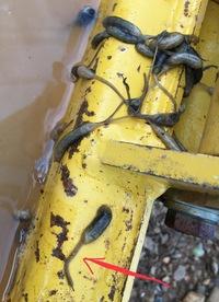 は と ウジ 虫 「シカ食い寄生虫」、40年ぶりにフロリダに発生