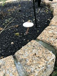 写真のきのこって何ですか?庭の木(もみじ)の下にきのこが生えてました。 雨で水やりをあんまりしていないここ3~4日でだと思うのですが、このキノコって何って種類のものかご存知の方教えて下さい。  小学生の息...