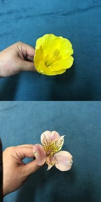 花の名前を教えて下さい!  子供が夏休みの宿題で花の解剖レポートを課題で出されており、 友達のお宅で沢山花を育てているからと譲って貰った花なのですが名前が分からずで(*´□`) 親御さん は留守にしておりお祖母さましか居なくて名前が分からないとのこと。 黄色い方はハイビスカスなのかなぁと思うのですが、ピンクの方の名前がわからずで。 (黄色い方もハイビスカスかどうか分かりませんが)...