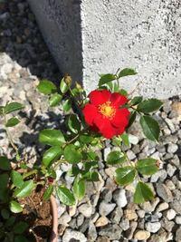 この花の名前分かりますか? トゲがあって薔薇の仲間だと思うのですが…