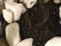 観葉植物に虫がいました。 この幼虫はなんですか? ヨトウムシでしょうか、、、