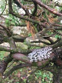 散歩中にカエルを見つけました。このカエルの種類は何でしょうか?5センチくらいです。