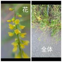 この黄色い花を付ける植物の花を教えて下さい。