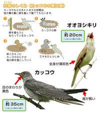 托卵する鳥でも、孵っても他の卵やヒナを押し出さない鳥はいますか? カッコウやツツドリやホトトギスなどは托卵をしますよね。 特にカッコウは孵ると、他のヒナや卵を巣から追い落してエサを独占してしまうようです、一見すると残酷ですよね。  ですが思ったのですが、托卵する鳥でも、他のヒナや卵を追い出したりせずに仲良く育つ種はあるのでしょうか?  あればぜひ知りたいです、鳥類や托卵に詳しい方など...