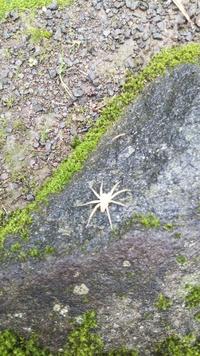 この白い蜘蛛の名前を教えてください。神社の木から落ちてきました。大きさは 2cmほどでした。