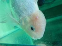 金魚の頭部数ヵ所に水ぶくれが出来てしまい、塩浴やメチレンブルーの薬浴をし様子を見ていましたが良くならず。。 数日前にグリーンFゴールドでの薬浴をしたのに赤くなったところに白い突き出たニキビのような出来物が。、  なので今日塩浴もプラスしたのですが、 うちの金魚は一体なんの病気なのでしょうか。。(>_<)   また、薬浴する際は 餌は与えていますか?? 少なめにしていますか??  ...