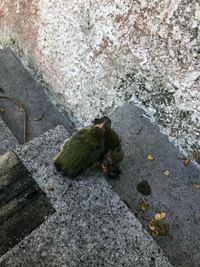 家の玄関の階段にメジロの雛がいました。 メジロは確か勝手に保護するのは禁止だったと思うのですが(まず保護のしても育てて行ける自信がない)どうすればいいのでしょうか? ほっといたら他の鳥に連れ去られるのではないでしょうか? 近くに親のメジロもいます。