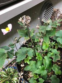 秋明菊について。 秋明菊が好きで、小さな苗を購入し、4年程経ちますが、ほぼ花が咲きません。 苗が成長したからか、今年は花芽がついていて、楽しみでしたが、写真のように、蕾が枯れてしな垂れてしまいました...