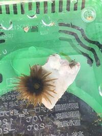 瀬戸内海の磯で貝殻を採取したらイソギンチャクが付いていました。 これは何という名前のイソギンチャクか、ご存知の方いらしたら教えてください。 よろしくお願い致します。