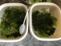 メダカの稚魚が消えていなくなりました。死んでタニシやスネールに食べられたのでしょうか? 今現在容器に数十匹いたのが1匹に… どの容器も1匹のみか、1匹もいない状態です。 以前は皆順調に育っていたのですが今...