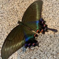 羽が傷ついてて飛べず可愛そうで家に連れて帰ってきたんですが、蝶の種類が分かりません!! 出来ればカゴ等に入れて食べ物を与えてあげたいのです!! 蝶の種類と、出来ればでいいので飼育方 法を教えてください!