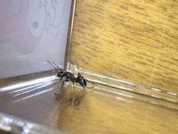 この女王アリは何のアリでしょうか?おととい神奈川県で捕獲しました。オオズアリかなと思ったのですが、なんか違うような感じがして。