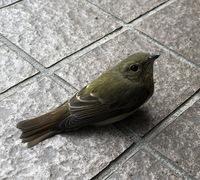 この鳥はなんという鳥ですか?  今朝、近づいてもじっと動かずうずくまっていましたが、手を差し向けたら羽ばたいていきました。 飛んで行った先は毎年ウグイスの鳴き声が聞こえる林の中です が、ウグイスでな...