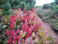 この、赤く紅葉してる低潅木は何でしょうか?高さは地面~膝くらい。 昨日、北海道天塩岳の標高千メートル付近で見かけました。