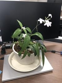 すみません。 胡蝶蘭の植木鉢から、このお花の芽が出てきてお花が咲きました。 どなたかこのお花の名前を教えていただけませんでしょうか。 よろしくお願いします。