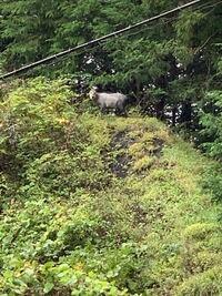 群馬県に旅行へ来た道中 このような動物を見つけました。 シカかな?とも思ったのですが 色が灰色で 分かる方いらっしゃいますか?