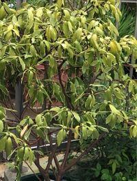 沈丁花についての質問です。 鉢植えで3〜4年目になります。バイカラーで艶艶の元気の良い葉だったのですが 1か月ほど前?から葉の色が薄くなり始め 張りがなくなり ダラっと垂れてしまいました。部分的にではなく全体です。植え替えは1〜 2年前に根を崩さず鉢増をしました。原因がわかりません。あなたかわかる方おりましたら教えてください。よろしくお願いします。 他の鉢植えの花木は異常ありません。
