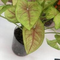 観葉植物シンゴニウムの葉脈?が赤いです・・・。買った時はこんなに濃くはなかったのですが考えられる原因はなんでしょうか? ちなみにハイドロカルチャーで育ててます。