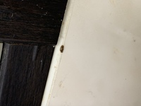 虫 画像あり  昨日、洗面所で1匹 今朝、キッチンの窓枠に1匹 いました。  ヒメマルカツオブシムシの幼虫でしょうか?
