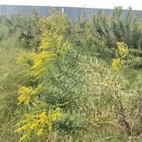 これはなんという植物でしょうか? ドライフラワーにできますか? また、特徴も教えていただけるとうれしいです!