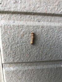 アパート玄関にこんな虫が湧いています。この虫はなんでしょうか?また対策はありますか?害虫ですから
