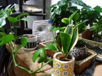 観葉植物の手入れについて教えてください。 母が元気なときに育てていた植物です。 現在、母は失明してしまい代わりに私が水やりしておりました。 その中で、特に手前の蔓状のが伸びて、節から根を出しています。増やしてあげたいのですが、そもそも名前も分かりません。また、それ以外の植物の名前も分からないため手入れや増やし方もわかりません。 手始めにどうしたらいいか手ほどきいただけたら幸いです。よろしくお...