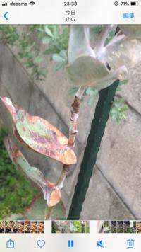 地植えで育てていたユーカリが斑点の様な状態になり、根元は黒く葉がポロポロ落ちています ただ 根元の方から新芽がポツポツ出てきてはいるのですが… 助けてあげたいです。どの様にすれば宜 しいでしょうか?