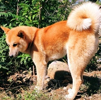 こいつは秋田犬ですか。それとも秋田犬と別の犬とのハーフですか。