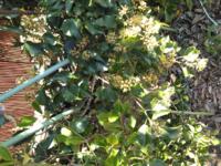 近所の垣根に画像の植物が生えており、とても生臭い臭いを発しています。ハエ等がたくさん集まっています。これは何という植物でしょうか?分かる方、教えて下さい。