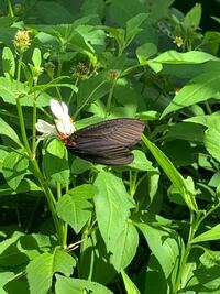 蝶々の名前を教えてください。 羽の中は少し青いです。