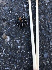 虫が嫌いな人は気をつけてください… この虫が大量発生してました。 写真の右側は割り箸です。大きさが分かりやすいようにと…  この虫の名前とどこからわくのか分かりますか?