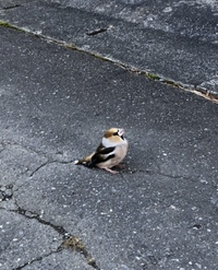 鳥の名前を教えてください。 今朝、家の前に鳥がいたのですが見たことの無い鳥で気になり調べたのですが、わかりませんでした。 場所は北海道で気温は2℃ぐらいでした。