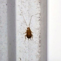 この虫はゴキブリの幼虫ですか? 体の大きさは1cm(触覚を除く)くらいです