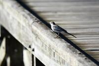 この鳥はハクセキレイでしょうか、教えてください。よろしくお願いいたします。