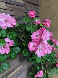 バラの花が全く咲きません。 5月に購入して、今日まで一輪も咲かないんです。 購入した時はたくさん咲いていたのですが、そこからは蕾も見ていません。 バラ用の薬を散布したり、水も欠かさずあげています。 何故なんですか、、。とても綺麗だったので悲しいです。