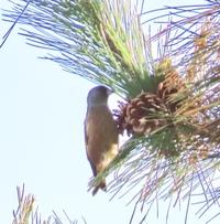 写真不良ですみません この野鳥の名前分かりますか? 青森市郊外 群れていました 2019.11.17
