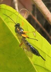 このアブ?の名前を教えていただけませんか? 体長は1.6センチぐらいでした 脚の上部が黄色いです