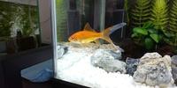 金魚の尾ひれに白点が、白点病でしょうか?教えてください。