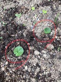 花壇に見覚えのない葉っぱが生えてきました。 前の住人さんが色々植えてらっしゃったので、その名残りでしょうか。 これは何の植物か分かる方いらっしゃいますか?