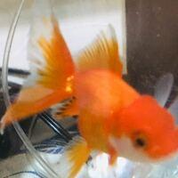 ツリガネムシ金魚を薬浴と塩浴していたら、写真では分かりづらいですが全てのひれが茶色く変色してきて全体的に広がってきています。ほかの金魚と同時にツリガネムシの治療してるのですが隔離しないとこの茶色も...