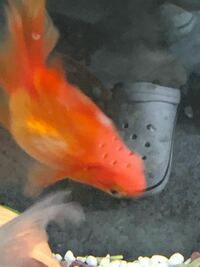 金魚の背鰭について 最近、水面付近で大人しくしていたり、背鰭が水面から、少し出ていたり、する琉金がいます。  背鰭の付け根が白っぽくなってきました。 それ以外の症状は、見れません  どなたか、解決策、ア...