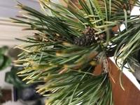 五葉松のミニ盆栽なのですが、写真のように先が茶色くなってしまっています。  どのような原因が考えられますか?また、どのように対処すればいいですか? よろしくお願いしますm