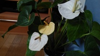 アンスリウムについてです。  いつも白い花しか咲かせないアンスリウムなのですが、突然黄色い花を咲かせました。  はじめてのことなので驚いています! 突然変異でしょうか?